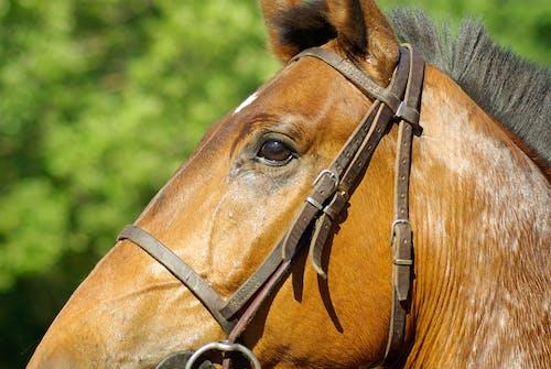 Gratis arkivbilde med brun, dyr, dyrefotografering, hest