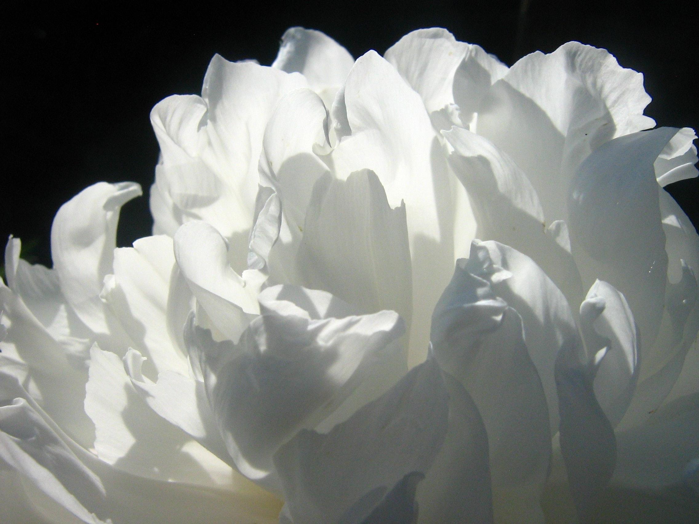 White Petal Flower Free Stock Photo