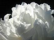 petals, white, flower