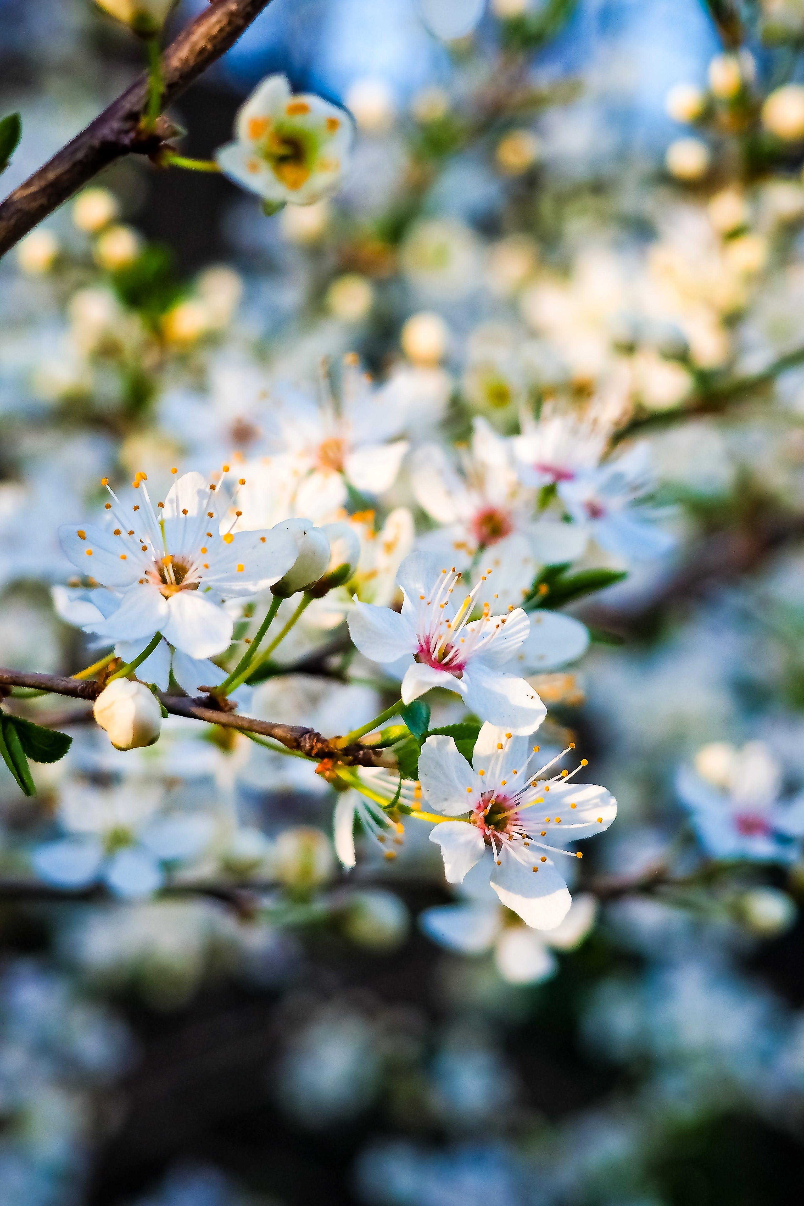 Free stock photo of bloom, blossom, branch, cherry blossom