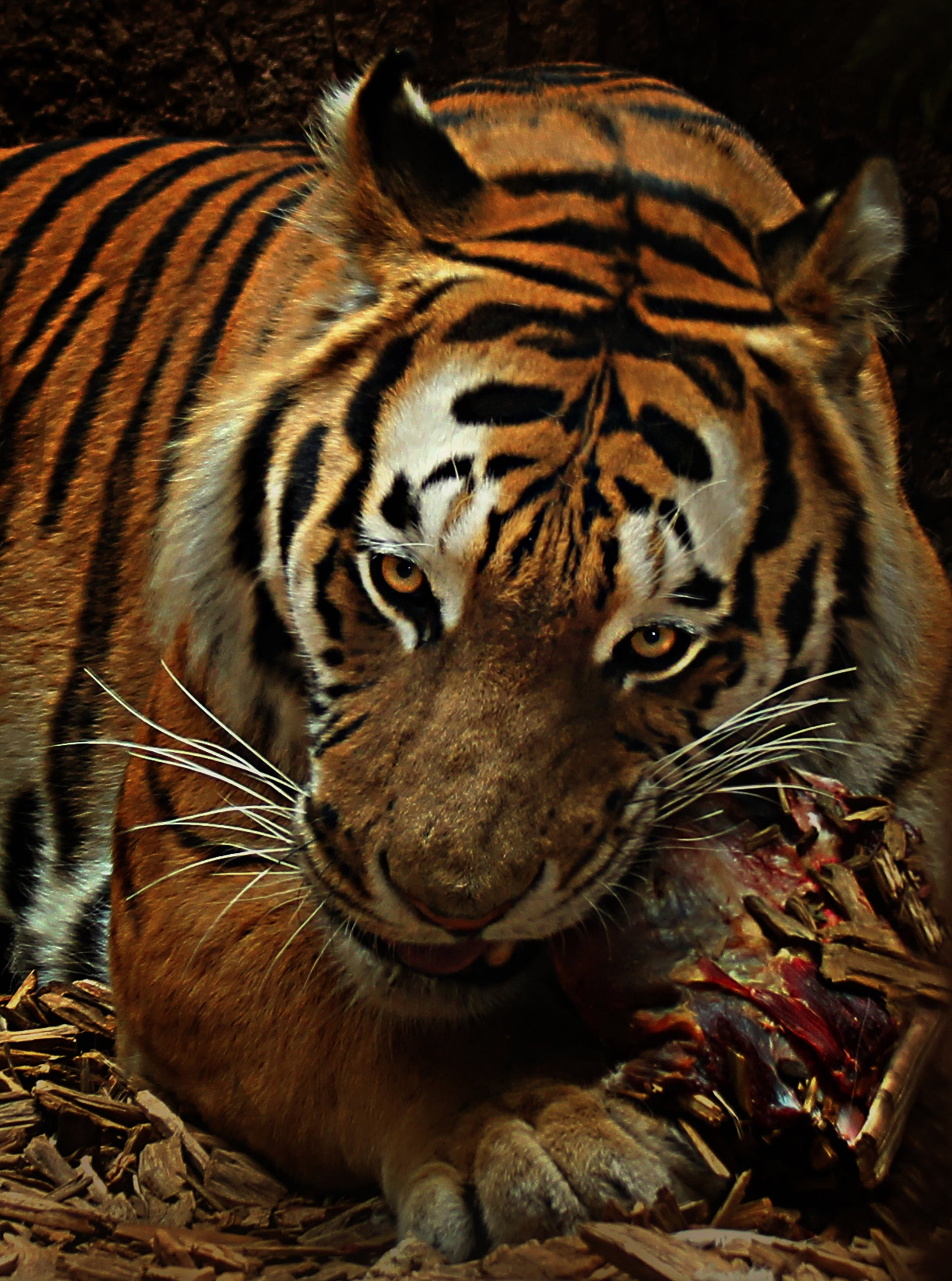 Brown and Black Tiger