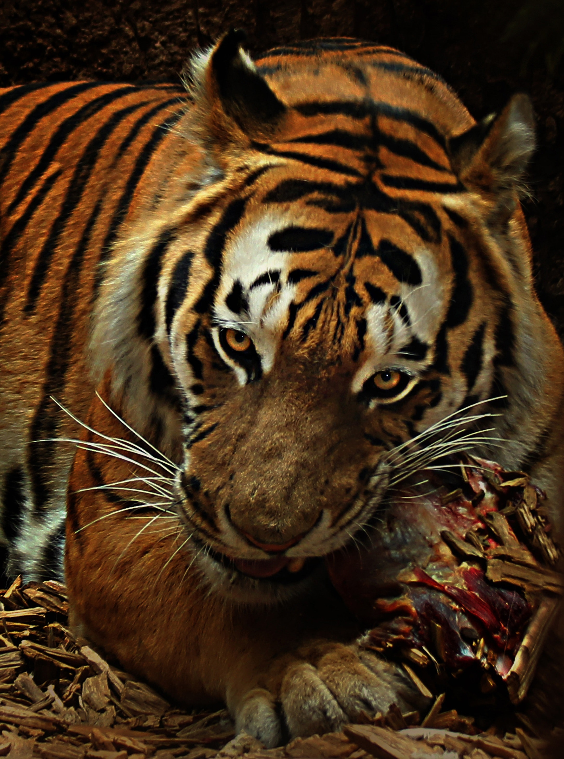 100 Majestic Tiger Pictures 183 Pexels 183 Free Stock Photos