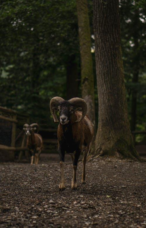 Foto d'estoc gratuïta de animals, animals de granja, arbres, ariet