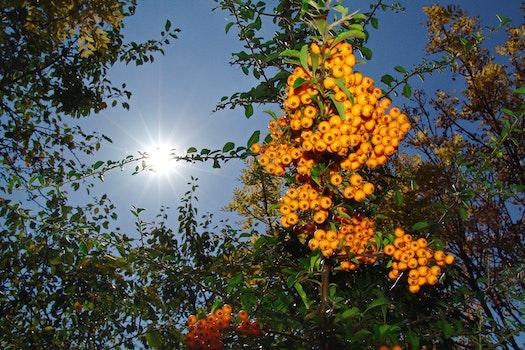 Free stock photo of autumn, crop, berry crop, yellow fruit