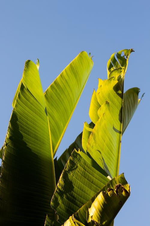 คลังภาพถ่ายฟรี ของ พืช, ใบตอง, ใบไม้