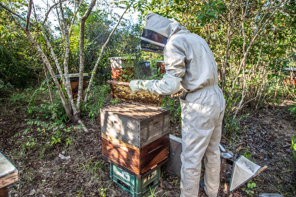 Beekeeper checking  on Bees