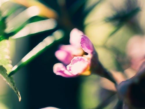 ピンク, マクロ, 緑, 花の無料の写真素材