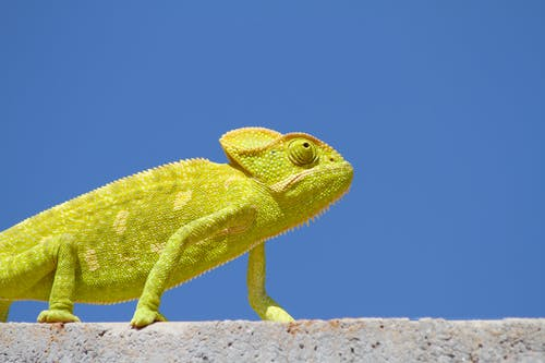 Chameleon on Top of the Wall