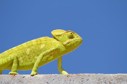 Immagine gratuita di animale, bilance, camaleonte, colore verde