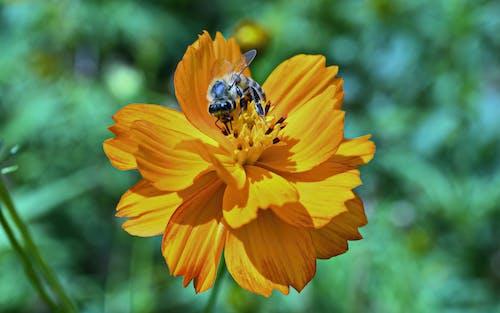Immagine gratuita di ape, fiore, fiore arancione, focus selettivo