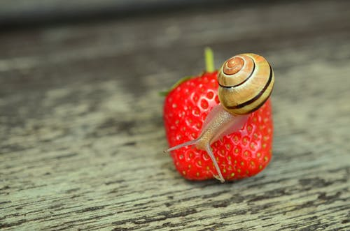 Brown Snail Perched on Strawberry Fruit