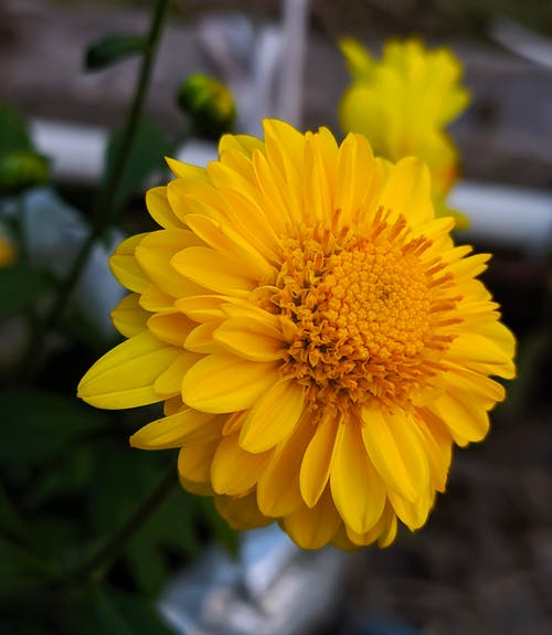 Free stock photo of chrysanthemum indicum, indian chrysanthemum, sunflower, yellow flowers