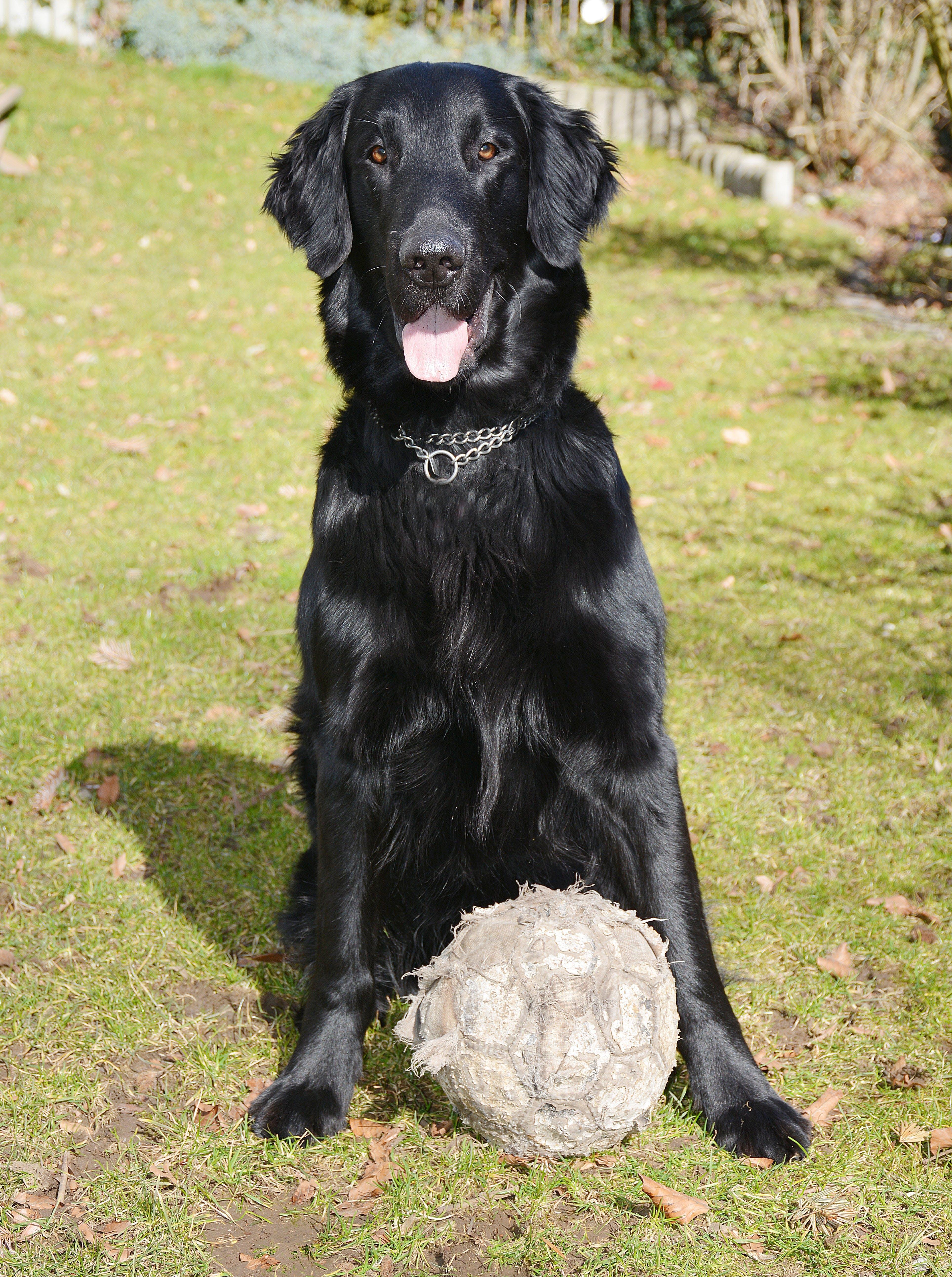 Free stock photo of garden, dog, black, football