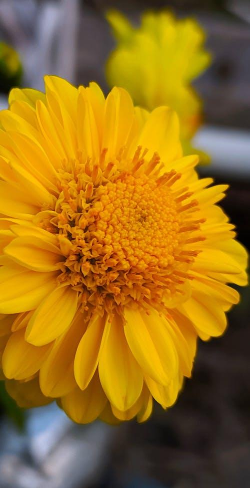 Kostenloses Stock Foto zu gelb, gelbe blume, gelbe blumen, gold-gelb