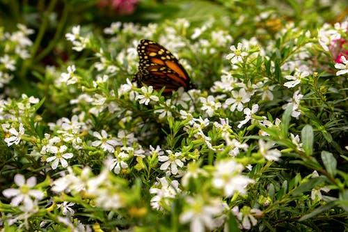 Photos gratuites de fond d'écran, macro, papillon monarque, papillon sur une fleur