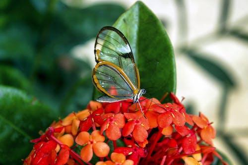 Photos gratuites de fond d'écran papillon, macro, papillon, papillon aile de verre