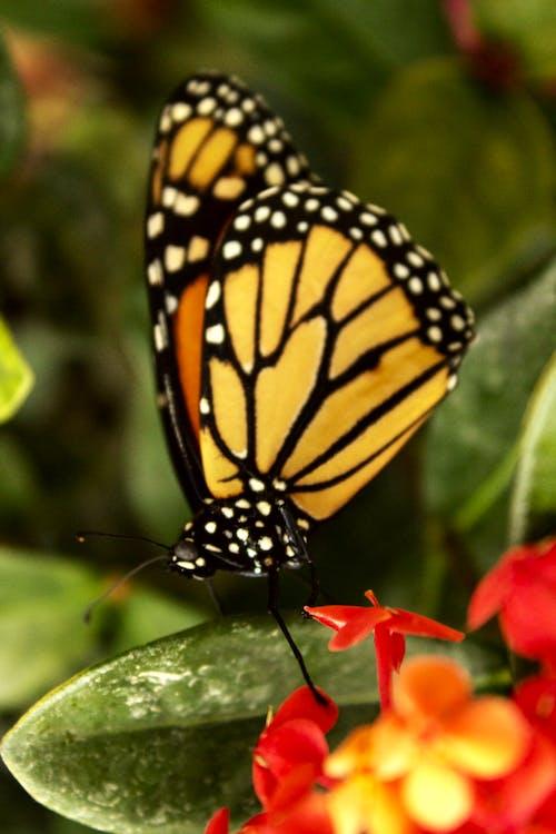 Photos gratuites de fond d'écran, fond d'écran papillon, macro, papillon