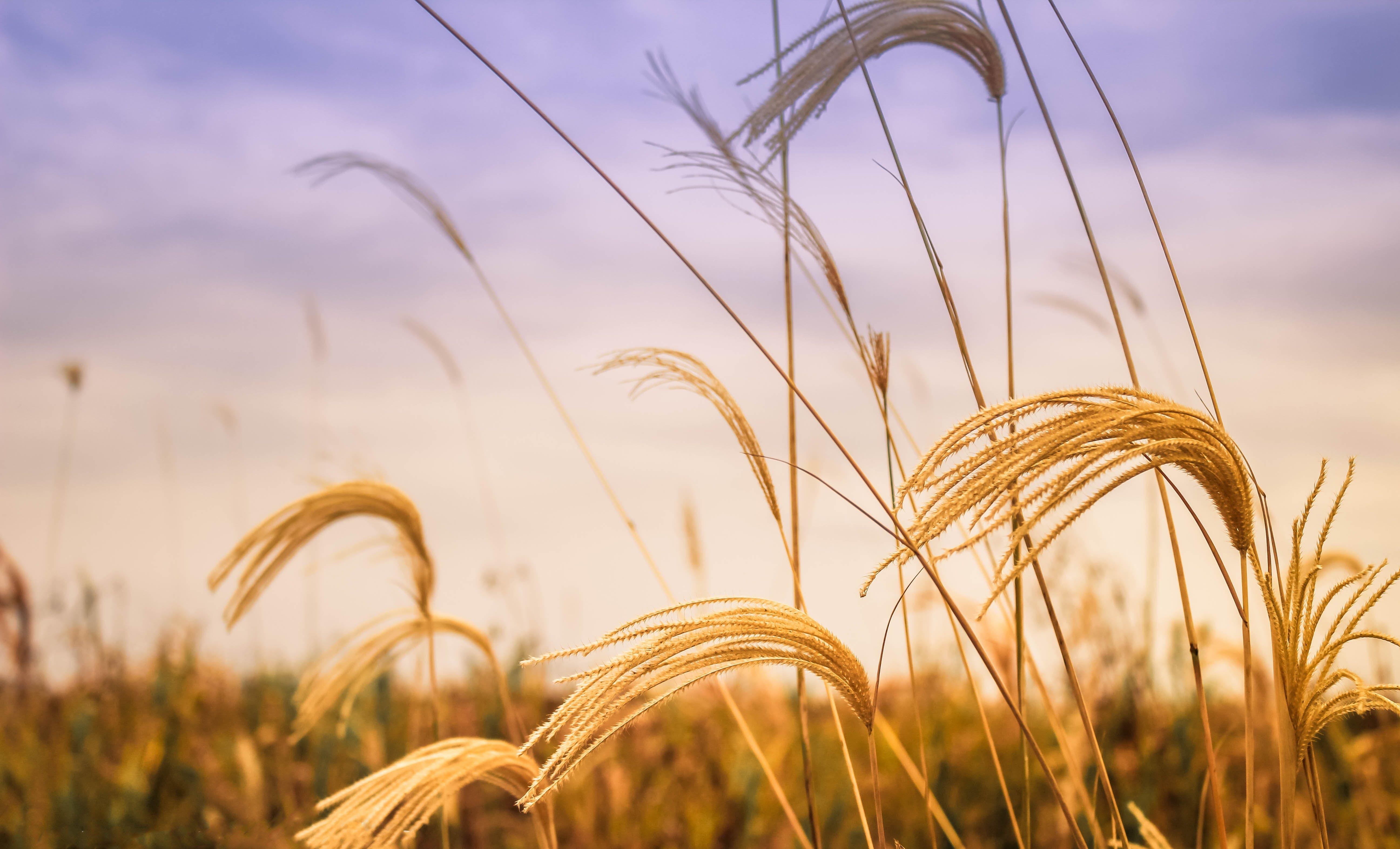 закат, зерновые, лето