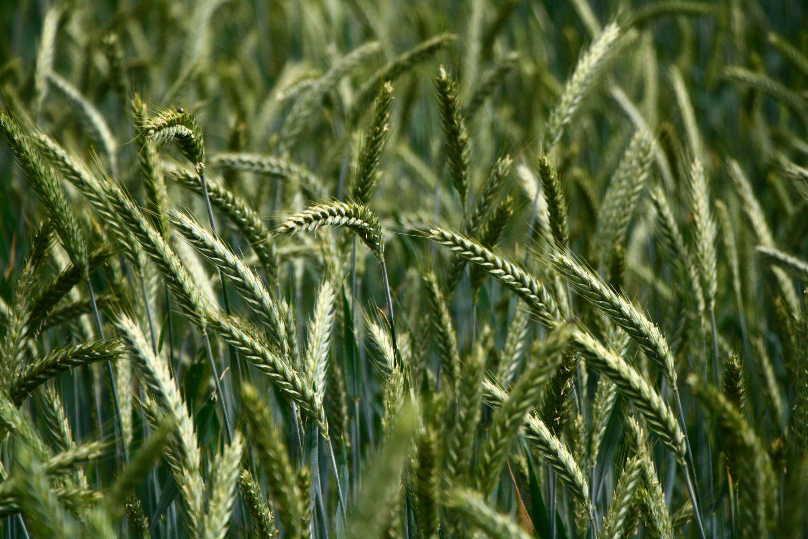 Selective Focus Photography of Green Wheat