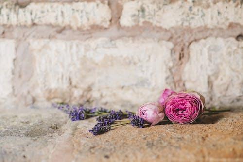 คลังภาพถ่ายฟรี ของ กลีบดอก, ดอกกุหลาบ, ดอกไม้, ร็อค