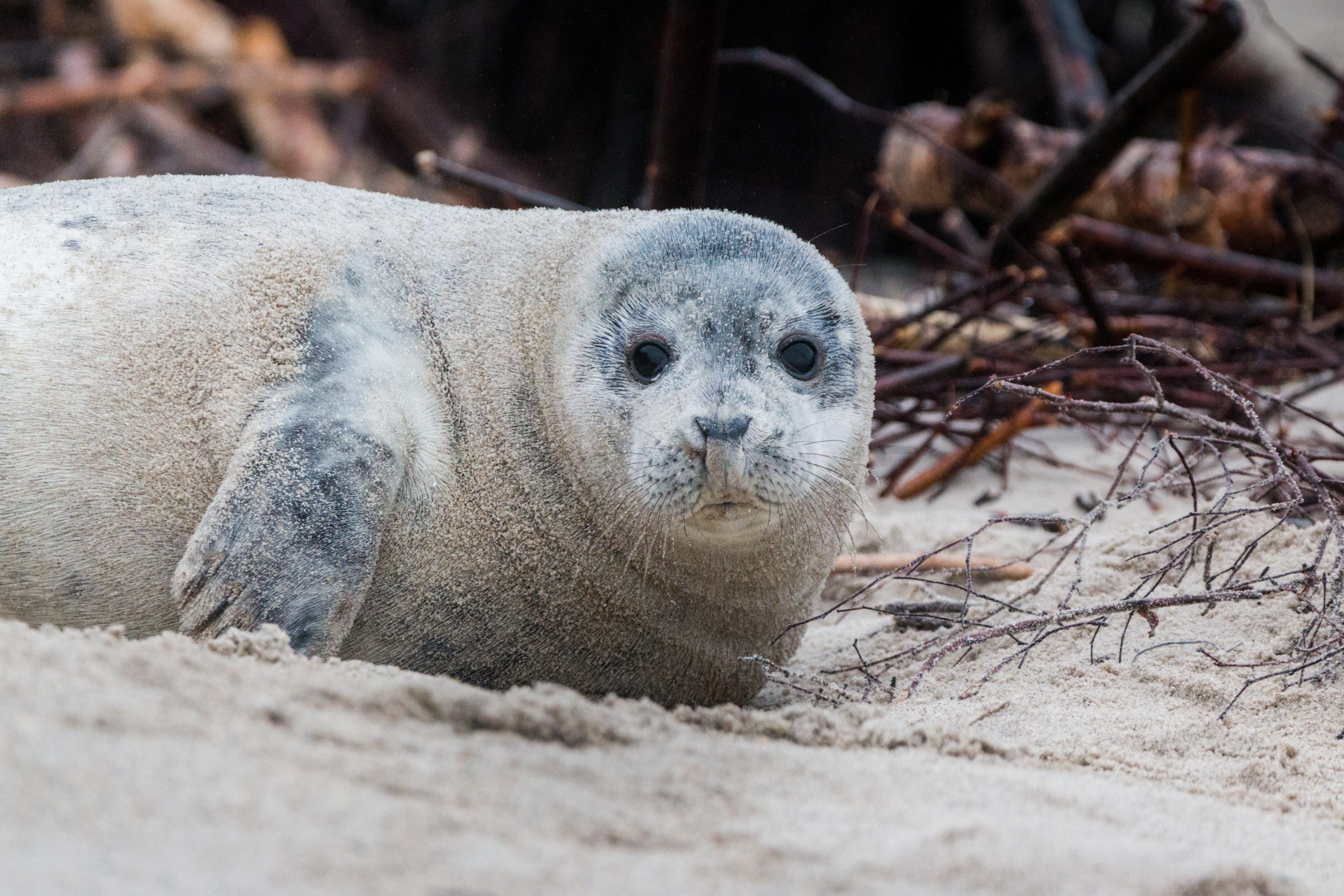 Brown Sealion on Sand