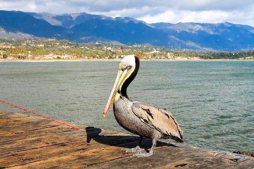 Pelican on Wooden Dock