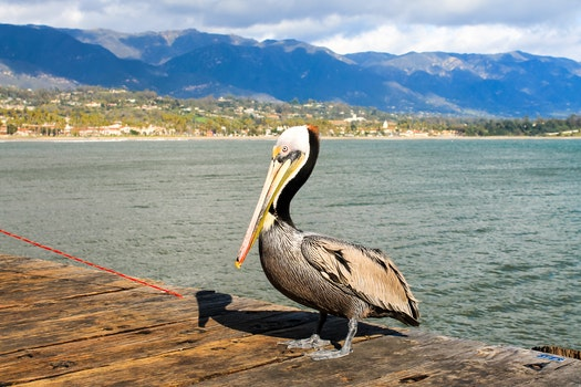 Free stock photo of sea, bird, pelican, beach