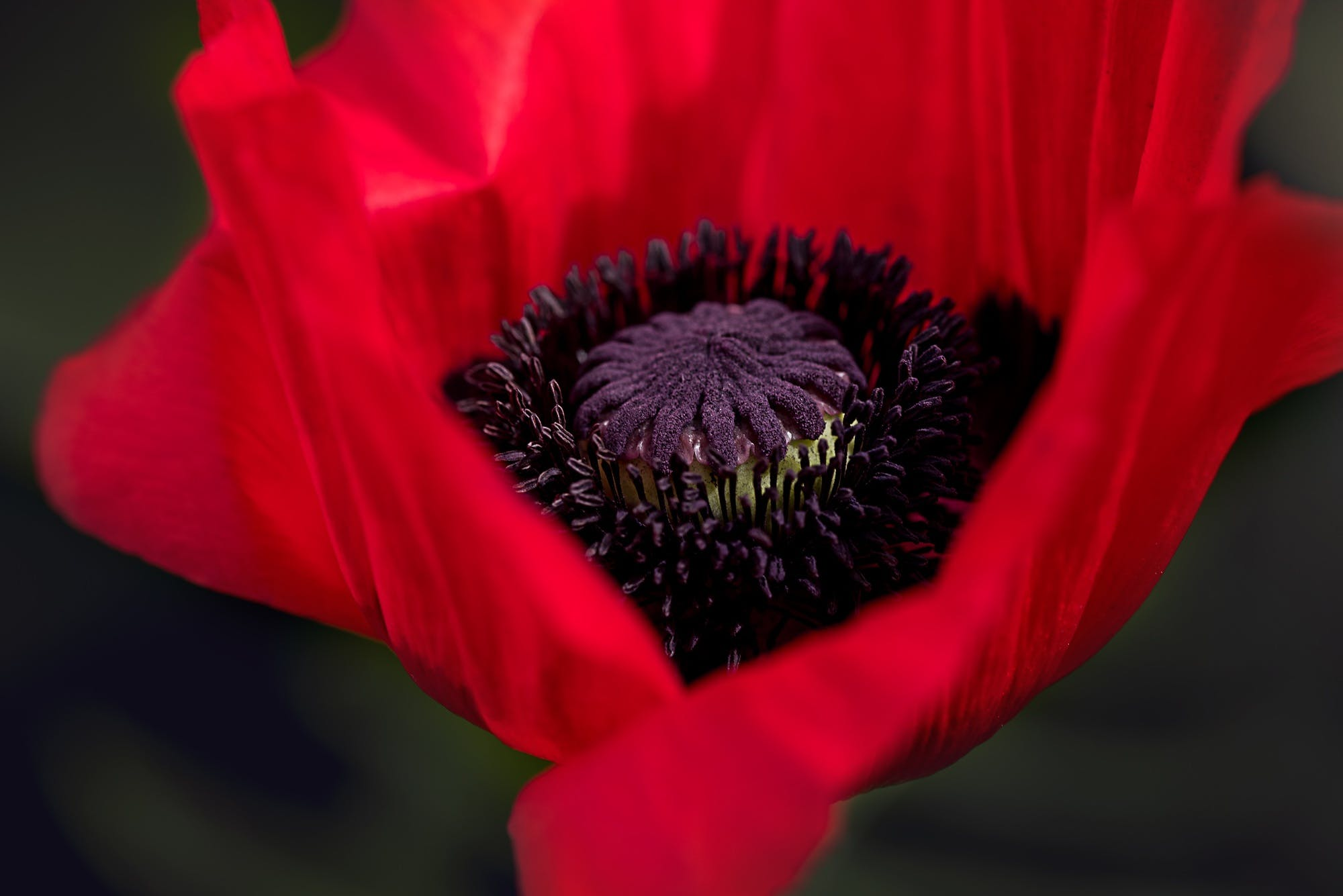 Close-up Photography of Red Poppy Flower
