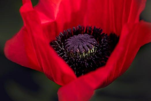 1000 interesting poppy flowers photos pexels free stock photos free stock photo of nature red petals plant mightylinksfo Images