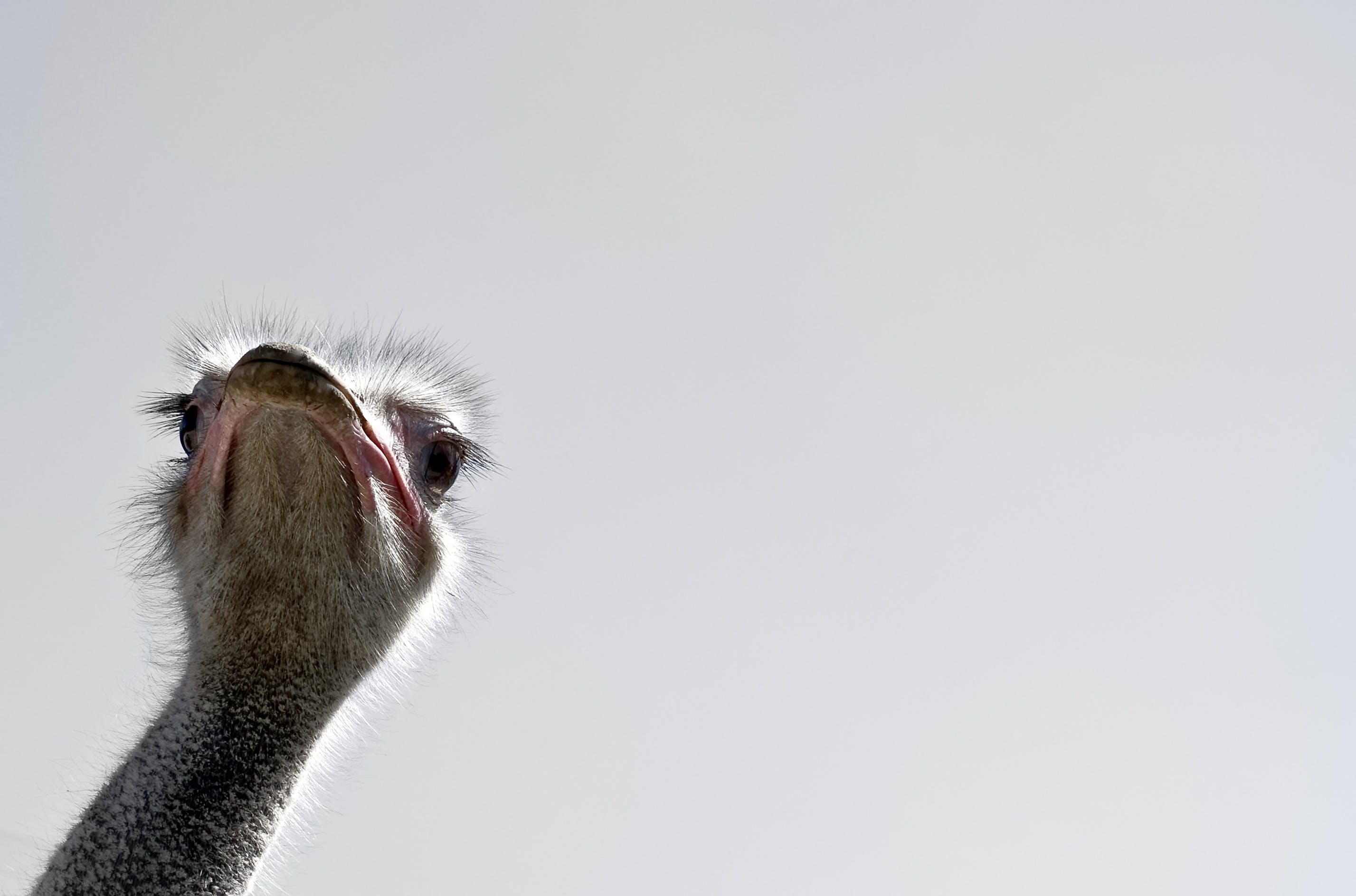 Gray Ostrich Head in Close-up Photo
