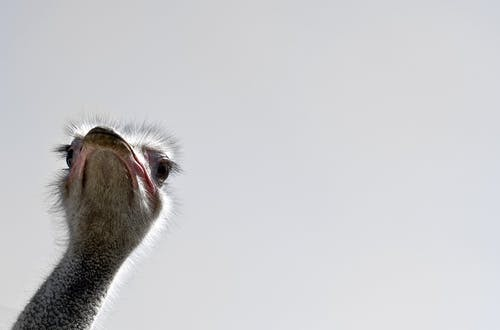คลังภาพถ่ายฟรี ของ จงอย, นก, นกกระจอกเทศ, ศีรษะ