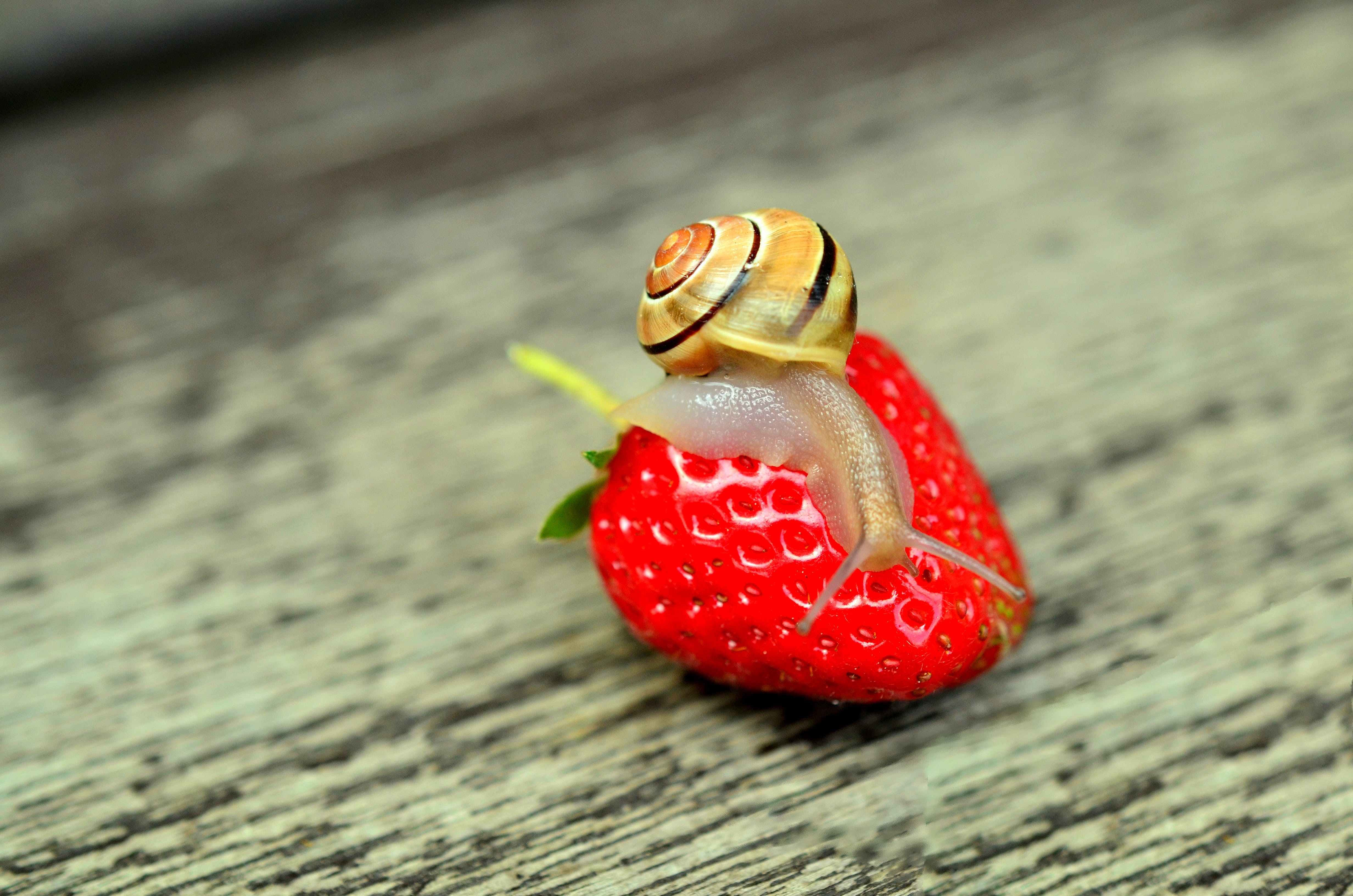 Close Up Photography of Snail Crawling on Strawberry