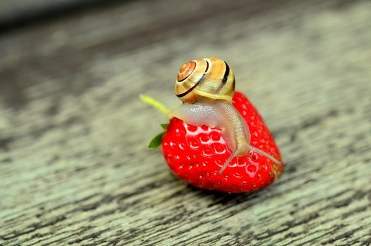 Free stock photo of snail, fruit, strawberry, shell
