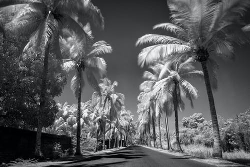 Free stock photo of infrared, palms, street