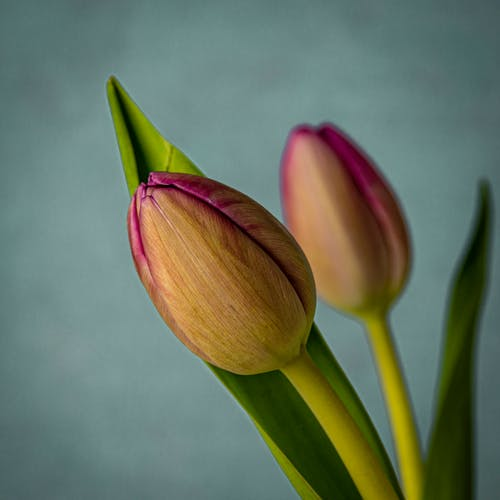 Free stock photo of flower, pink tulips