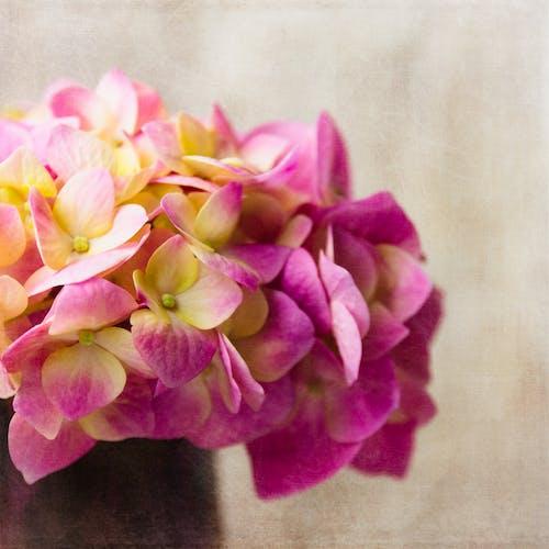 Free stock photo of hydrangea, pink flower