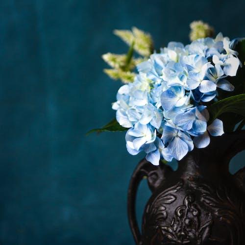 Free stock photo of beautiful flowers, hydrangea