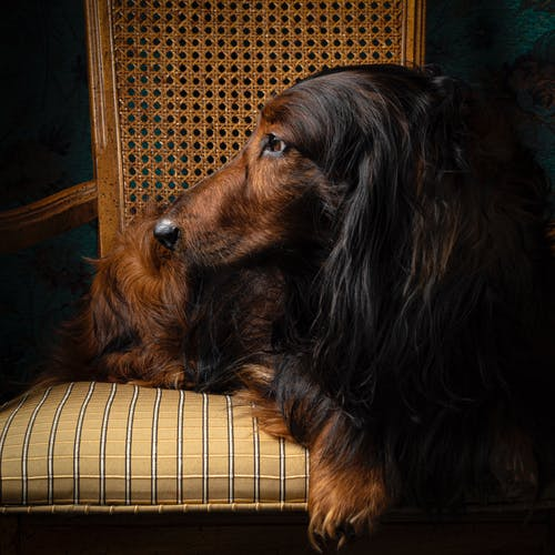 Free stock photo of dachshund, dog, long hair