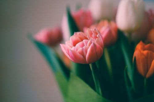Gratis stockfoto met bloeiend, bloesem, mooie bloemen, tulpen