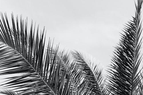Foto stok gratis daun palem, Daun-daun, langit, pohon kelapa