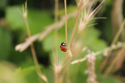 Ilmainen kuvapankkikuva tunnisteilla hyönteinen, leppäkerttu, luonto
