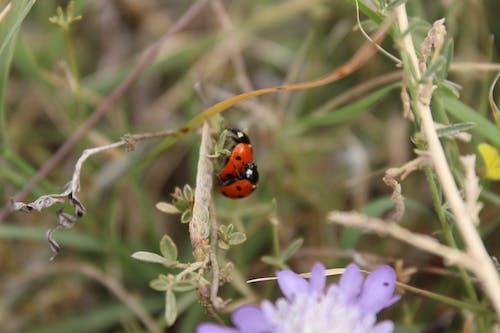 Ilmainen kuvapankkikuva tunnisteilla hyönteinen, hyönteisten sukupuoli, leppäkerttu, luonto