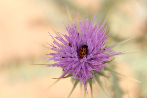 Ilmainen kuvapankkikuva tunnisteilla aavikon kukka, hyönteinen, kaunis, kukka