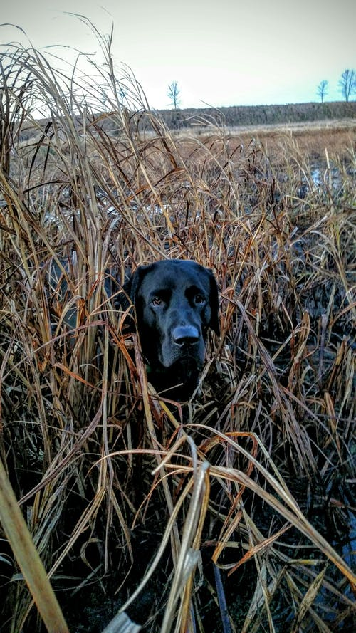 Free stock photo of Black labrador, duck hunting, duck slough, hunting dog in cattails