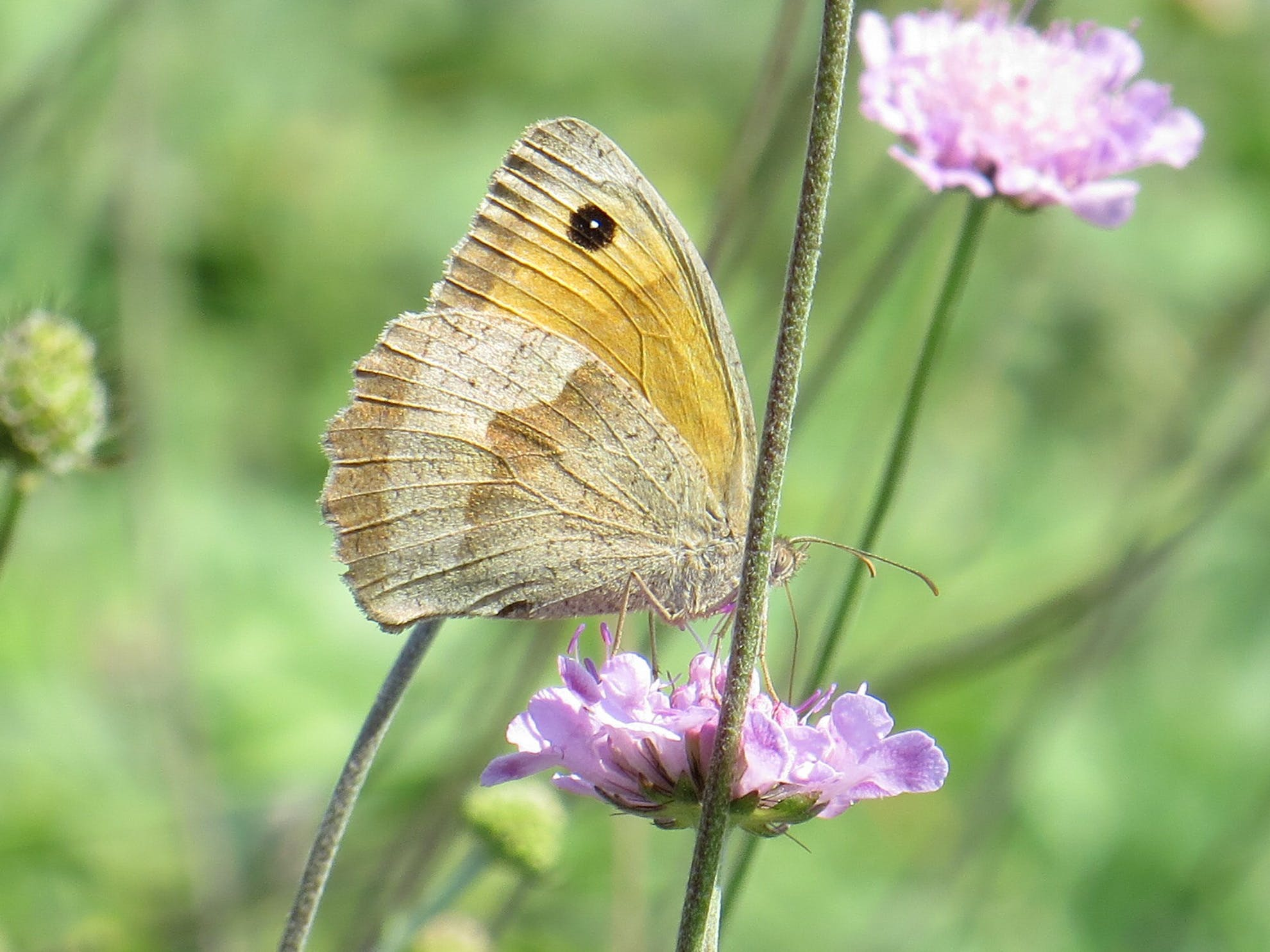 Free stock photo of butterflies, butterfly on a flower, nature