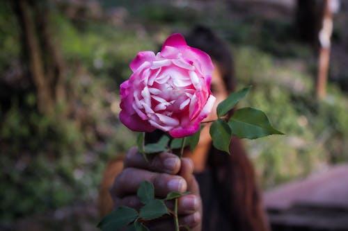 玫瑰, 紅玫瑰, 美丽的花 的 免费素材照片