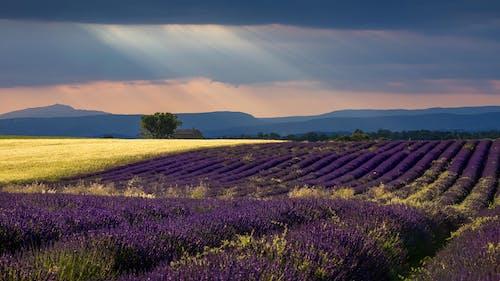 Free stock photo of lavender, provence, sunrays, wheat