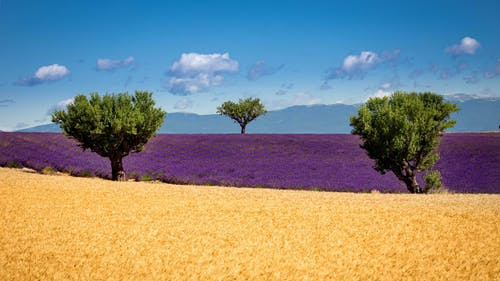 Free stock photo of lavender, provence, trees, wheat