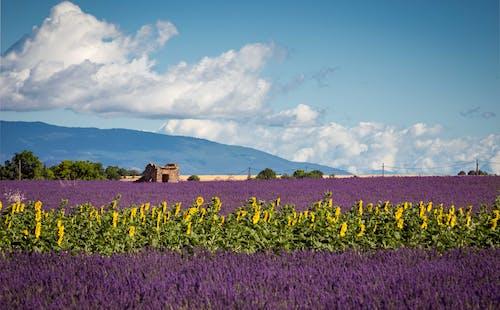 Free stock photo of lavender, provence, sunflower, sunflower field