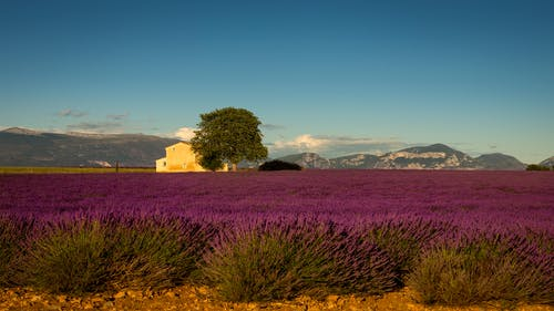 Free stock photo of countryside, lavender, provence, sunset